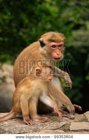 Toque Macaques Mother And Baby Sitting At Cave Temple In Dambulla, Sri Lanka