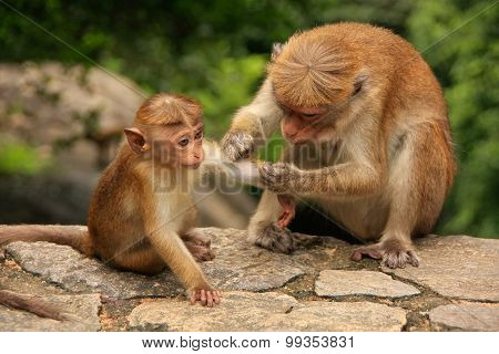 Toque Macaque Grooming Baby At Cave Temple In Dambulla, Sri Lanka