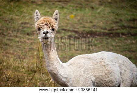 Shorn Adult Llama