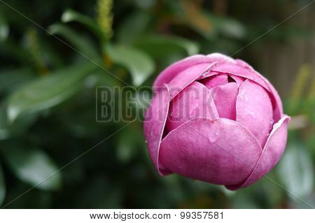 Black Tulip Magnolia flower with dew drops in early Spring