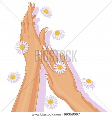 Female Hands And Chamomile Flowers