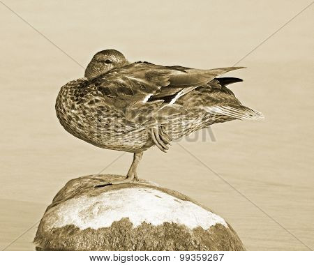 Mallard duck balancing on one leg on top of large rock.  Sepia tone