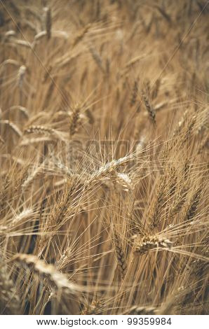 vertical photo of a wheat field