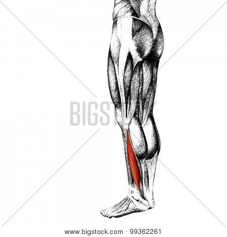 Concept or conceptual 3D gastrocnemius human lower leg anatomy or anatomical and muscle sketch isolated on white background