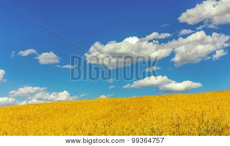 Yellow Meadow And Blue Sky