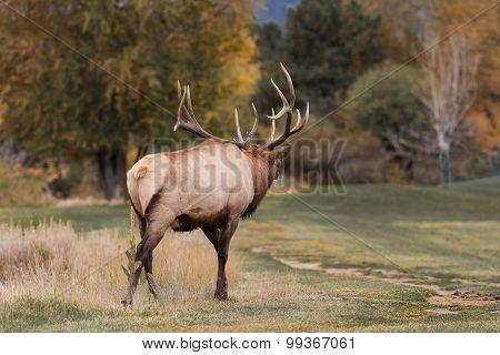 Bull Elk Bugling