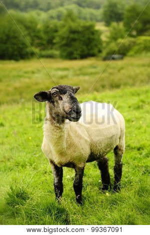 Black face sheep in a green land in Scotland