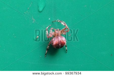 Hairy brown garden spider UK green background water drops