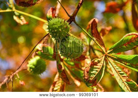 Green Chestnuts Growing On The Tree
