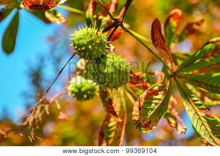 Green Chestnuts Growing On The Tree In Front Of Blue Sky