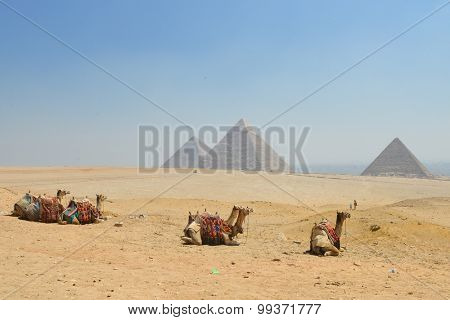Camels and Giza Pyramids - Cairo, Egypt