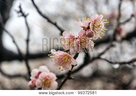 Plum Flowers Wet With Rain.