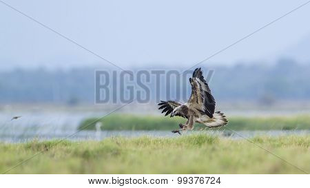 White-bellied Sea Eagle In Pottuvil, Sri Lanka