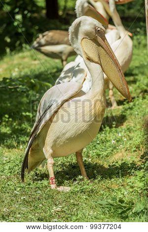 Large Pelicans
