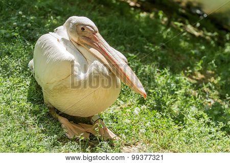 Big Pelican Sits