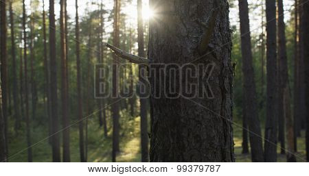 pine forest in warm summer day