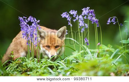 Red Fox and bluebells