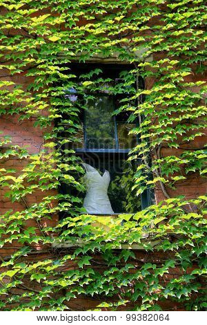 Dress in window of ivy covered wall