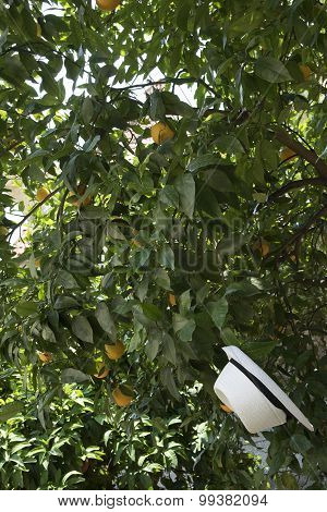 Ripe oranges of Lake Garda