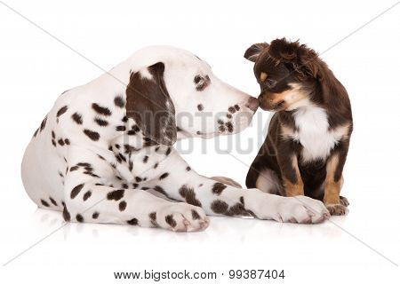 dalmatian puppy and chihuahua together on white