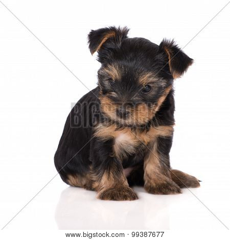 adorable tiny yorkshire terrier puppy