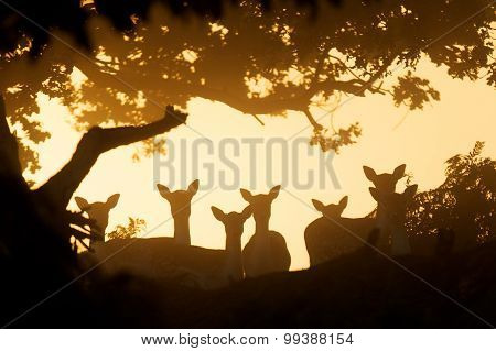 silhouette group of fallow deer