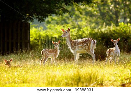 A fallow deer doe and her fawns