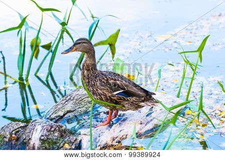 Duck On The Pond