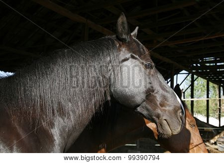 Side View Portrait Of Young Saddle Horses In The Barn