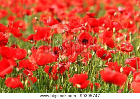 Blooming Poppyfield