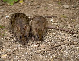 picture of rats  - Two brown rats foraging for food on the ground - JPG