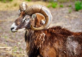 image of goat horns  - Ibex the wild goat with amazing horns - JPG