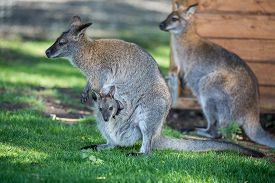image of wallabies  - Female Wallaby with her joey in grassed area - JPG