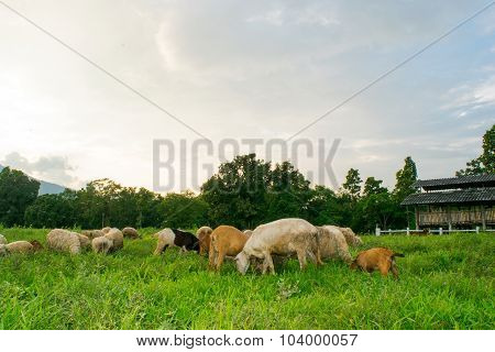 Goats and sheep eating on Meadow grass in farm