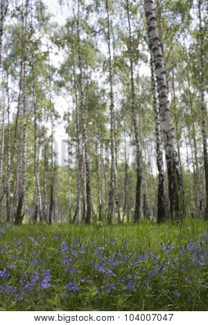 Birch trees and flowers