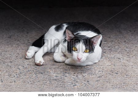 Portrait of  sinister face white cat