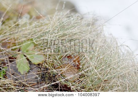 The grass under the snow