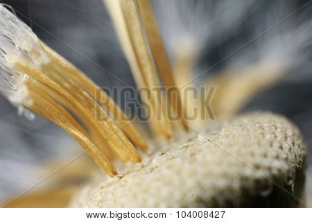Fluffy seeds of the dandelion