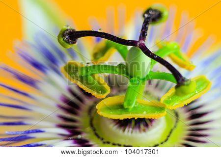 Passion Flower Macro. Yellow Background. Macro Shot.