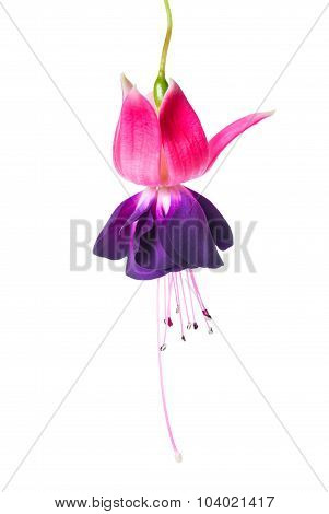 Blooming Beautiful Single Flower Of Violet And Red Fuchsia Is Isolated On White Background, `voodoo`