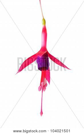 Blooming Beautiful Single Flower Of Lilac And Red Fuchsia Is Isolated On White Background, `magellan