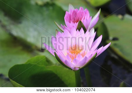 Pink water lily and green leaves,two beautiful pink flowers blooming in the pond in autumn