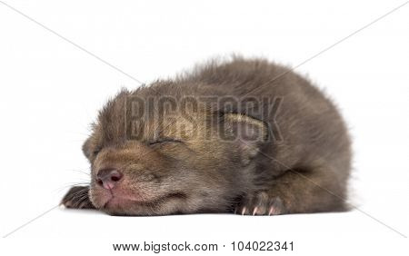 Fox cub (4 weeks old) lying in front of a white background