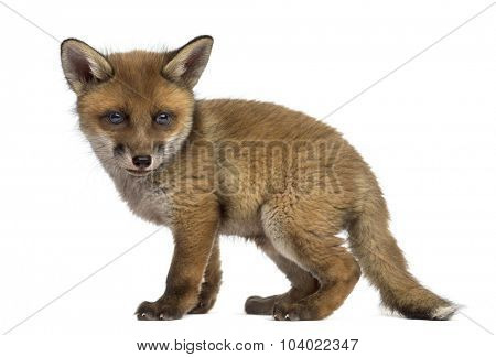Fox cub (7 weeks old) in front of a white background