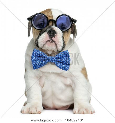 English bulldog puppy wearing glasses and a bow tie in front of white background