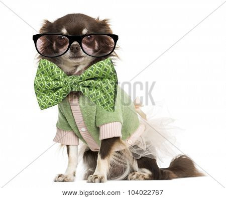 Dressed-up Chihuahua wearing glasses and a bow tie, isolated on white