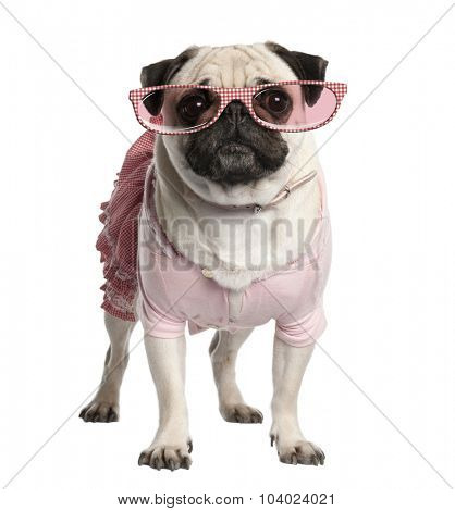 Portrait of dressed up pug wearing glasses, 4 years old, standing in front of white background, studio shot
