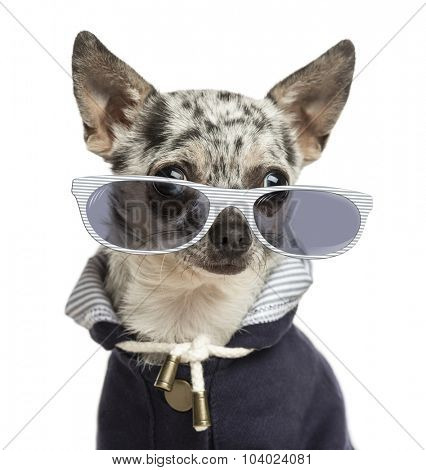 Close-up of a dressed-up Chihuahua wearing glasses, isolated on white