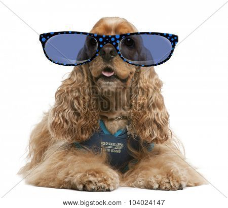 American Cocker Spaniel wearing glasses, 3 years old, dressed up and sitting in front of white background