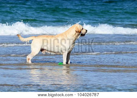 Labrador Playing In The Sea With A Ball